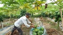 """Bình Định: Lấy cây đu đủ """"làm chủ"""" ở vườn trồng """"lung tung"""", hái trái không kịp bán"""