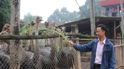 Nuôi chim đà điểu khổng lồ, nhiều nông dân thủ đô trúng lớn