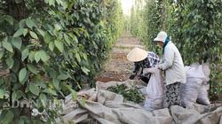 Có gì lạ ở nơi trồng tiêu sạch, giá tiêu cao hơn thị trường 200 USD/tấn, thu về 40 tỷ đồng?