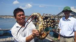 Bình Thuận: Ra đảo Phú Quý, bất ngờ với tôm hùm khổng lồ ở Ngũ Phụng, ăn 1 lần cho biết