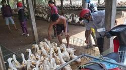 Giá gia cầm hôm nay 17/8: Giá vịt thịt miền Nam giảm nhẹ, đại lý tăng giá con giống