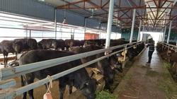 """Hà Nội: Dân xã """"đảo"""" thu 70 tỷ đồng/năm nhờ nuôi đàn bò khủng 4.000 con"""