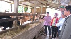 """Phú Yên: Nông dân """"thi nhau"""" nấu cháo cho bò ăn, ai nuôi bò lai lãi còn to hơn"""