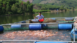 Quảng Ngãi: Nuôi cá trong hồ chứa, kéo lưới lên toàn con to 3-4kg, bán được giá