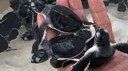 """Bình Thuận: Thả 45 """"bé"""" rùa quý hiếm, dễ thương về biển khơi, """"bà mẹ"""" rùa nặng tới hơn 1 tạ"""