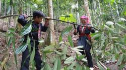 Lào Cai: Ở nơi này, nông dân trồng thứ cây bóc vỏ bán sang Tây, nhà nhà khá giả