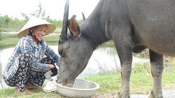 Quảng Bình: Lạ, làng vùng biển mà nuôi nhiều trâu, bò nhất tỉnh, toàn tiền tỷ để...ngoài đồng
