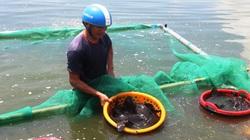 """Khánh Hoà: Hàng trăm tấn cá mú """"bí"""" đầu ra, ngư dân lỗ hàng trăm triệu"""