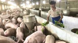 Bình Định: Kỳ công trồng la liệt cây thuốc Nam chỉ để nuôi thứ heo sang chảnh
