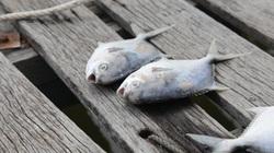 Cá bè đặc sản ở TP Vũng Tàu chết hàng loạt, hơn 10 tỷ đồng của nông dân tan theo nước