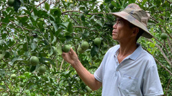Bắc Kạn: Vì sao ông nông dân này lại thả đàn ngựa bạch vào vườn cam đặc sản đang độ trĩu quả?