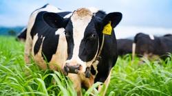 Một lần ghé thăm trang trại bò sữa Nutimilk