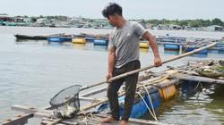 Xót xa, cuộc giải cứu bất thành hàng trăm ngàn con cá đặc sản trên sông Chà Và