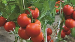 """""""Lạ đời"""" cách trồng cà chua cực nhanh không cần gieo hạt, không cần mua cây giống"""