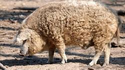 Kỳ lạ giống lợn nhiều lông, thịt ngon nhất thế giới nhưng có nguy cơ bị tiệt chủng