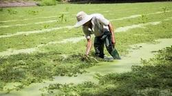 Vùng đất dân trồng thứ rau nước tốt vù vù, chưa hái xong lái đã đứng ở đầu bờ giục nhanh lên