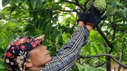 Quảng Ninh: Trồng thứ cây ra trái mắt cả là mắt, trước dân chê lên chê xuống, nay bán đắt cũng lùng sục tìm mua