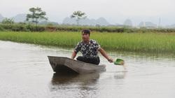 Hà Nội: Thả cá trong ruộng lúa, ít phải chăm cá lớn như thổi, nông dân để ra cả trăm triệu