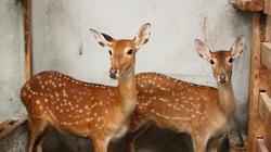 Nghệ An: Nuôi 35 con thú lấy sừng non bán đắt tiền mà một nông dân thành đại gia