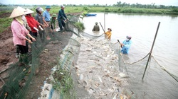 Ninh Bình: Nuôi cá chép kiểu gì mà bắt 24 tấn/ha, tính ra cứ 1 sào ao bắt gần 1 tấn cá?