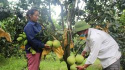Bưởi được mùa, người dân Con Cuông lãi đậm, mỗi cây thu về gần 1 triệu đồng