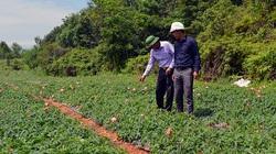 Quảng Bình: Làng đồi gò trước nghèo rớt mồng tơi nay đổi đời nhờ trồng thứ sâm bổ dưỡng này đây
