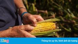 Nông dân Mỹ lo phá sản vì được mùa, mất giá
