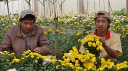 Lâm Đồng: Cận rằm tháng 7, giá hoa cúc tăng cao, chủ vựa đến tận vườn hỏi mua mà hết hàng