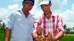 Cà Mau: Phun thuốc diệt cỏ, diệt cả... lúa, nông dân yêu cầu công ty bán thuốc bồi thường