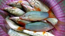 An Giang: Bắt loài cá heo đuôi đỏ chót, kêu éc éc từ ngoài sông vô nuôi trong lồng, bán 360 ngàn/ký