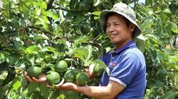 """Lâm Đồng: Cho bơ """"chung nhà"""" với cà phê, cây nào cây nấy sai quả như muốn gãy cành"""