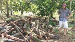 Nông dân Bến Tre chưa thể khôi phục vườn cây ăn trái sau hạn mặn