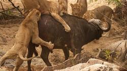 Trâu rừng đực phá vòng vây 4 con sư tử để thoát thân