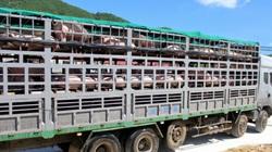 Thanh Hóa: Vực dậy nghề nuôi lợn sau dịch tả, mỗi ngày giết mổ gần 2.000 con