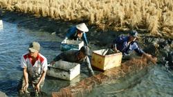 Bỏ độc canh cây lúa, thả tôm vào tung tăng bơi lội, chăm nhàn mà lúa tôm đều nhanh lớn