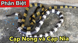 """Bộ đôi """"anh em"""" rắn cạp nong và rắn cạp nia phân biệt bằng cách nào?"""
