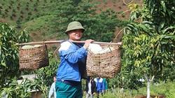 Sơn La: Nông dân Thuận Châu đưa xoài siêu sạch... xuất ngoại