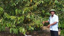 Vùng đất một thời bom đạn tơi bời, nay trồng sầu riêng ra lắm quả, trồng bơ tứ quý trái trĩu cành