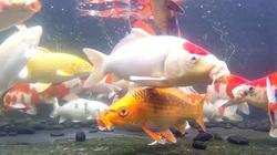 """Đẳng cấp dân chơi Thủ đô: Xây bể cá tiền tỷ trên sân thượng tầng 7 để nuôi loài """"quốc ngư"""" Nhật Bản"""