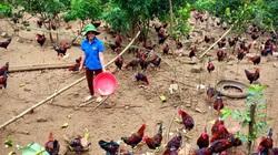 Giá gia cầm hôm nay 29/8: Giá vịt thịt miền Nam giảm 5.000 đồng/kg, gà thịt ấm dần
