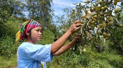 Yên Bái: Loài cây ra quả đặc sản, cây thấp cho tới cây cao, cây nào cũng đầy trái chín vàng