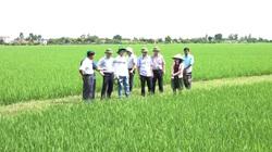 Mật độ rầy mang virus lùn sọc đen cao, Cục BVTV yêu cầu tập trung bảo vệ 840.000ha lúa