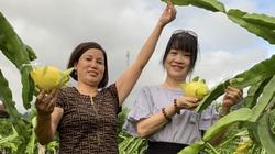Nông dân Sơn La: Trồng cây cho trái vàng tươi, thu về vàng thật