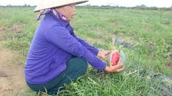 Mưa lớn hậu bão Sinlaku, nông dân Hà Tĩnh thắt lòng hái dưa cho bò ăn
