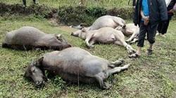 Yên Bái: Đáng sợ-Sét đánh chết 6 con trâu to trong hoàn lưu bão số 2