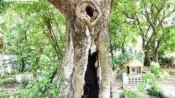 Cận cảnh rặng thị cổ gần nghìn năm tuổi ở Hải Phòng chín vàng mùa Vu Lan
