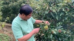 Bắc Kạn: Trồng thứ cây lạ ra quả gai chi chít, nhân ăn thơm bùi, bán đắt như tôm tươi