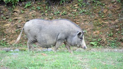 Giá lợn hơi nhiều nơi lao dốc, ở đây có loại thịt lợn giữ giá kỷ lục 200.000 đồng/kg