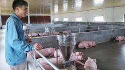 Một nông dân Thái Bình phát tài nhờ 3 con lợn nái sống sót ngoạn mục sau dịch tả châu Phi.