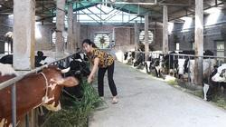 Triển vọng chăn nuôi bò sữa trong chuồng kín